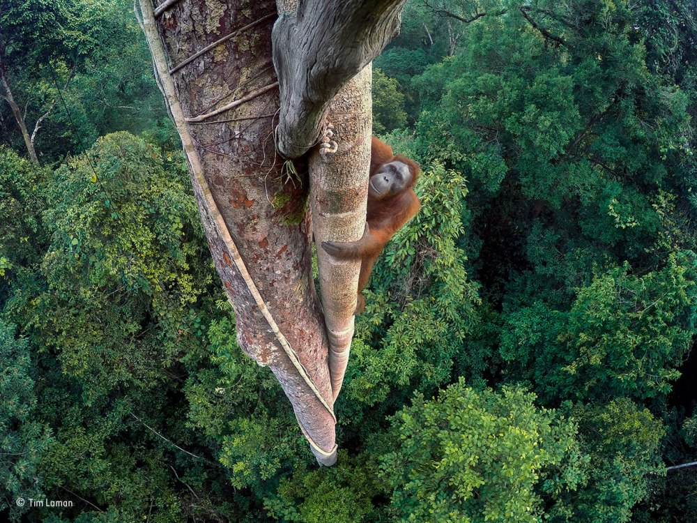 Grand Title Winner©Tim Laman / Wildlife Photographer of the Year