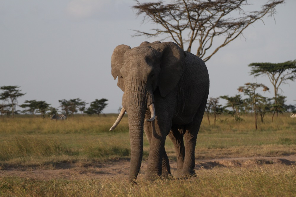 elephant ban ivory China INKLINE.jpg