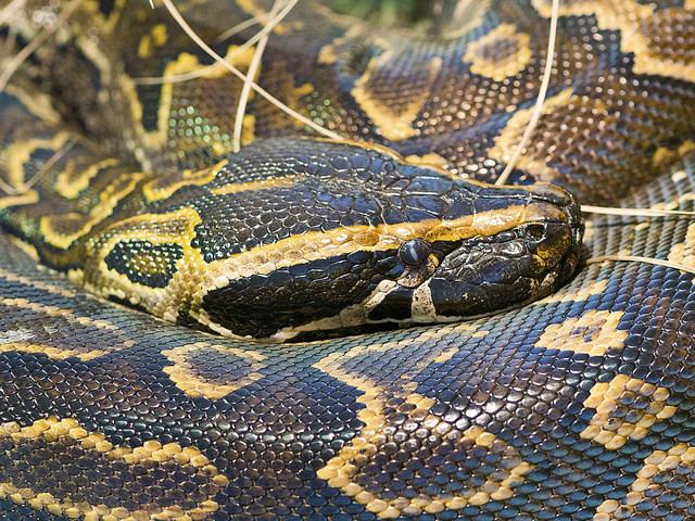 snake-ban-inkline-kenya