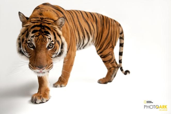 An endangered Malayan tiger, Panthera tigris jacksoni, at Omaha Henry Doorly Zoo. © Photo by Joel Sartore/National Geographic Photo Ark(www.natgeophotoark.org)